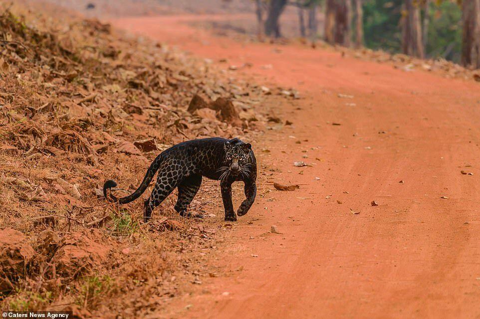 Фотограф запечатлел меланистического черного леопарда