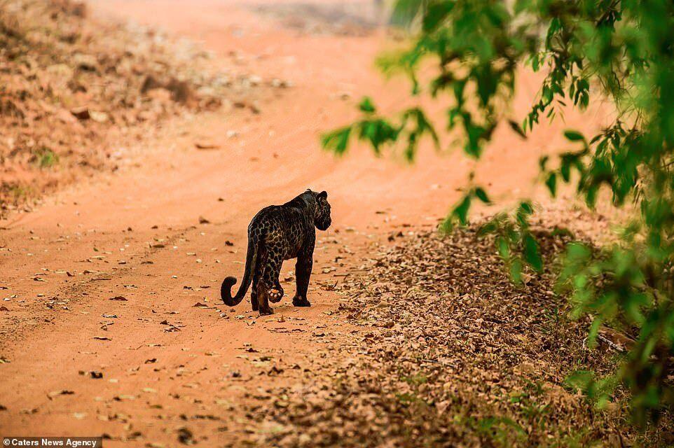 Черный леопард в Национальном парке Тадоба