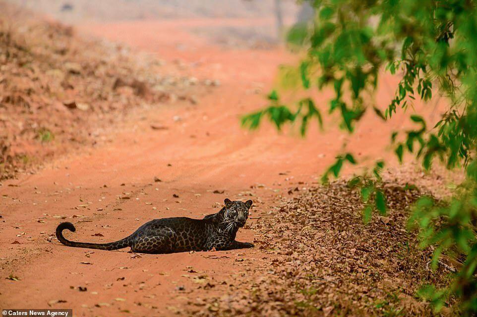 Черный леопард в Национальном парке на дороге