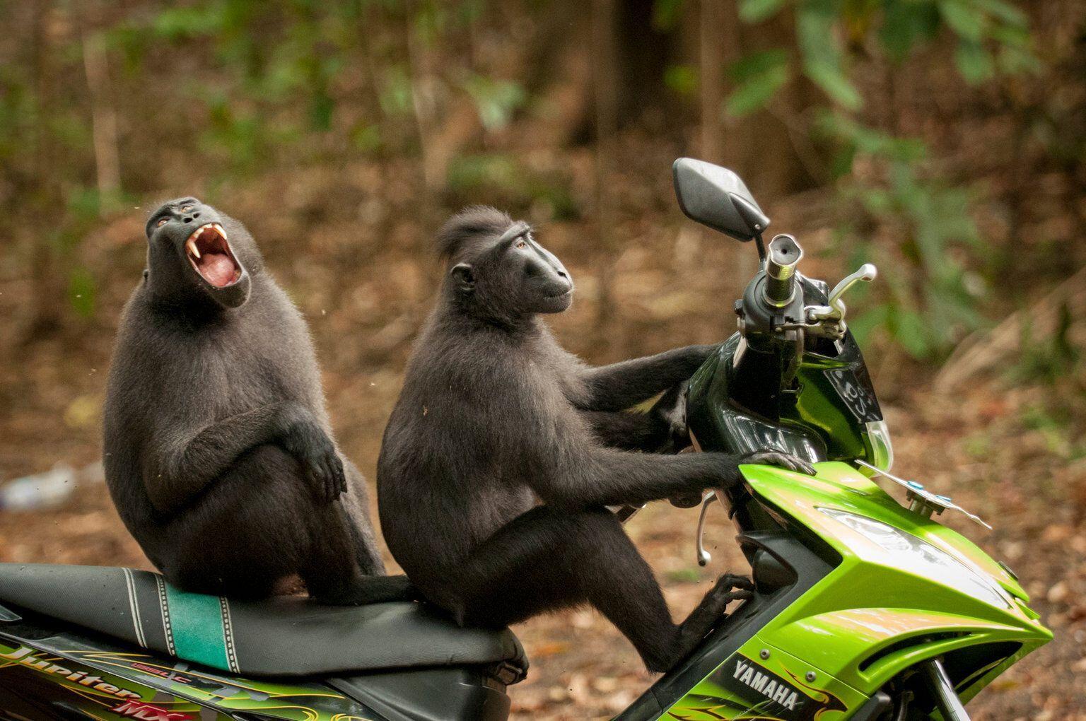 Пара мавпочок взяла на тест-драйв новенький мопед