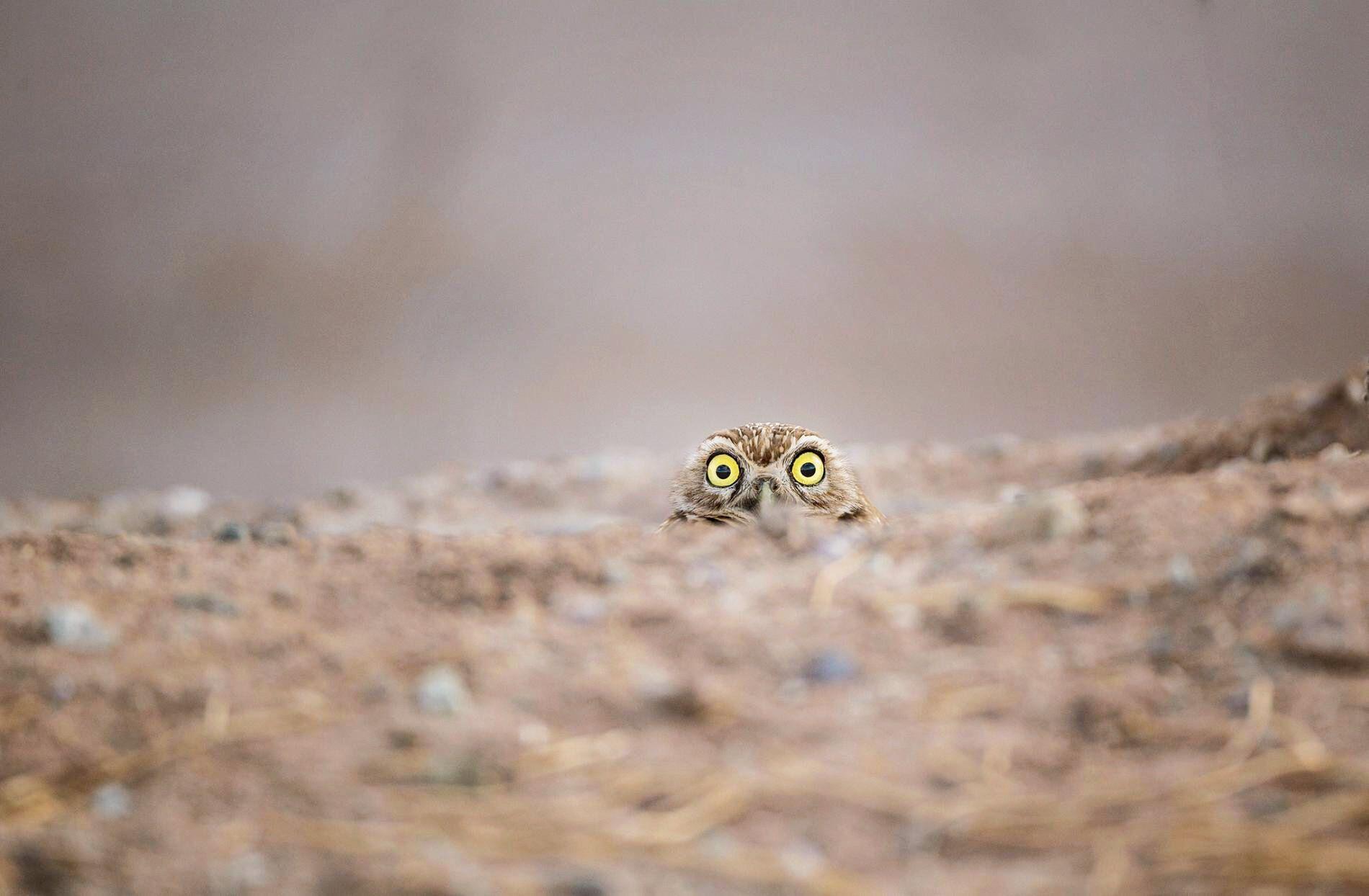 Сова веде секретне спостереження.