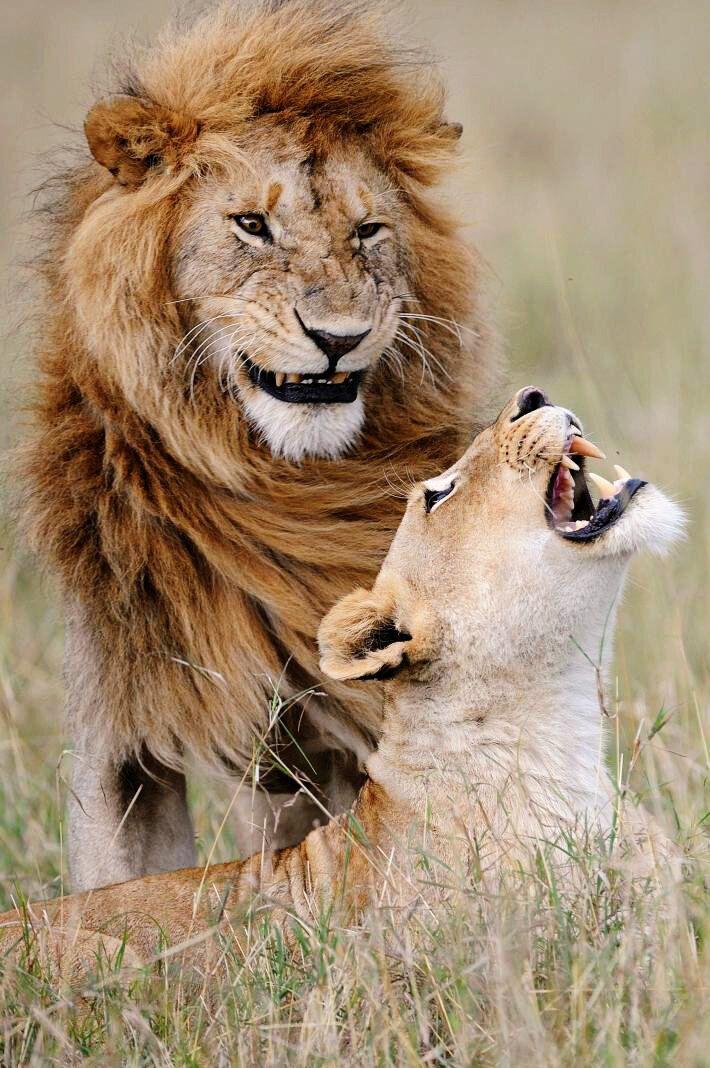 Лев розсмішив самку захопливими жартами