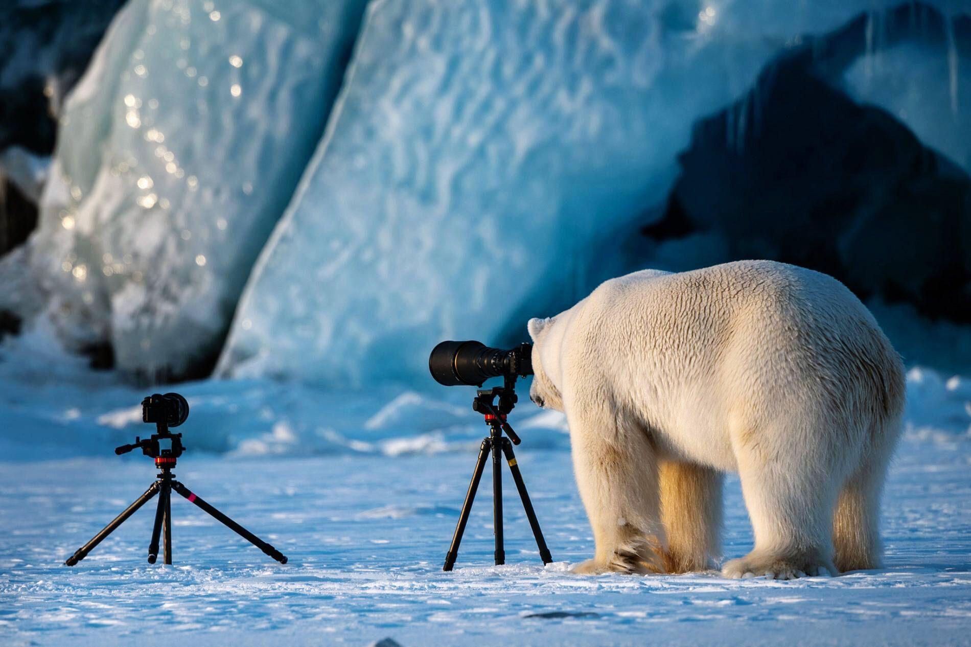 Білий медвідь знайшов собі хобі