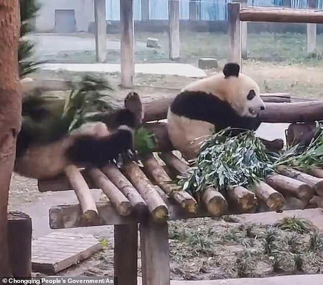 Момент падіння панди