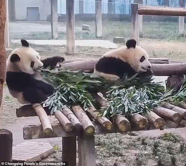 Панда впала під час поїдання бамбукового листя