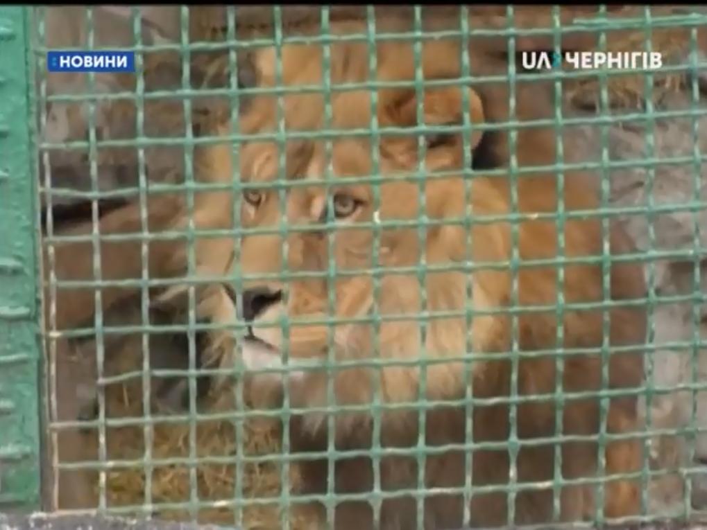Лев в Менском зоопарке