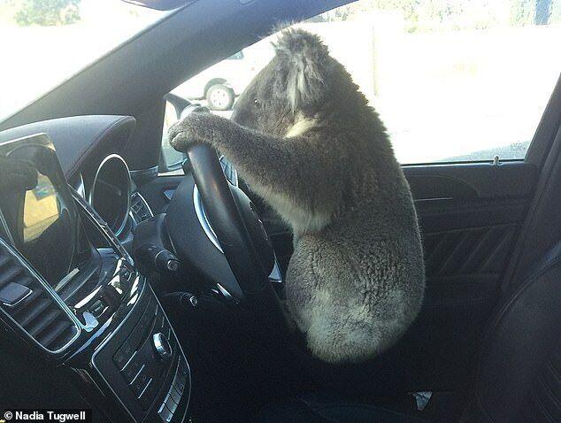Коала за рулем автомобиля