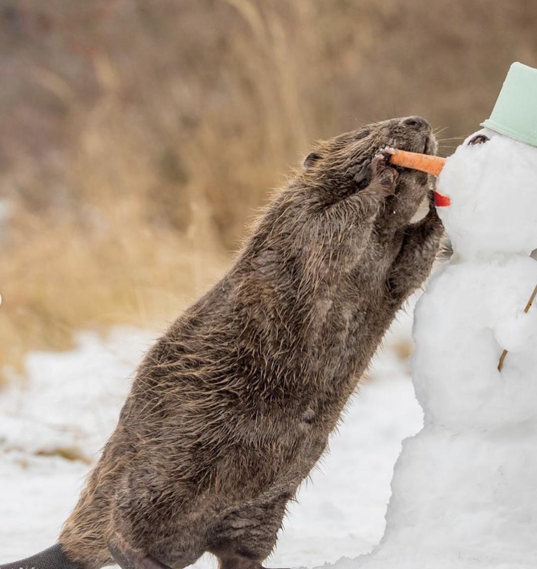 Голодний тюлень залишив сніговика без носа.