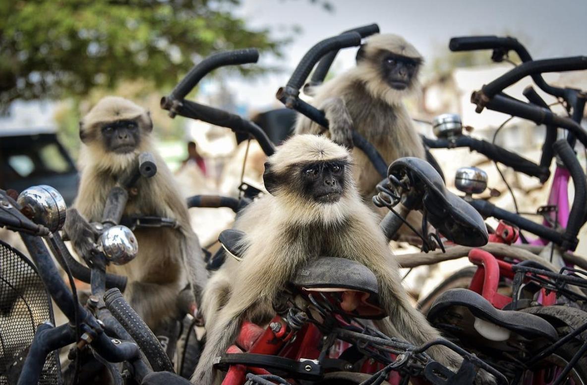 Український фотограф зафільмував мавпячий рейд на роверах