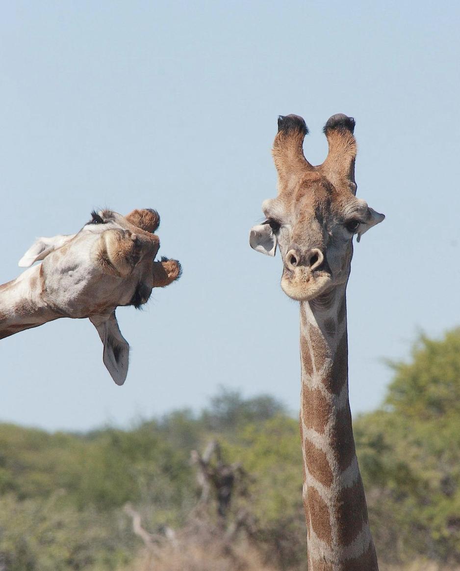 Жирафи оригінально позували на камеру.