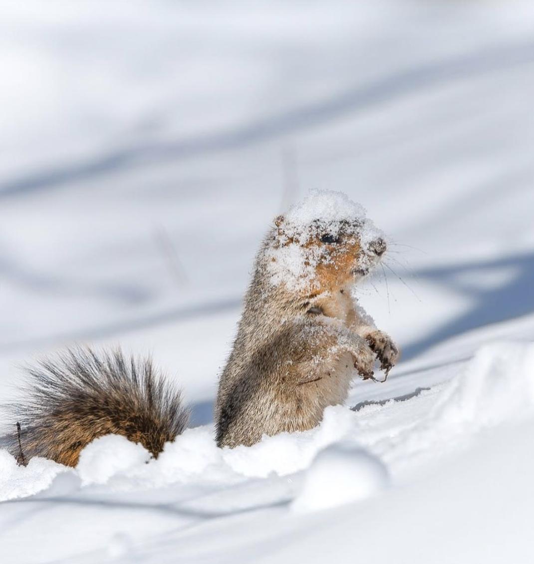 Білочка ховається від ворогів у сніжних заметах