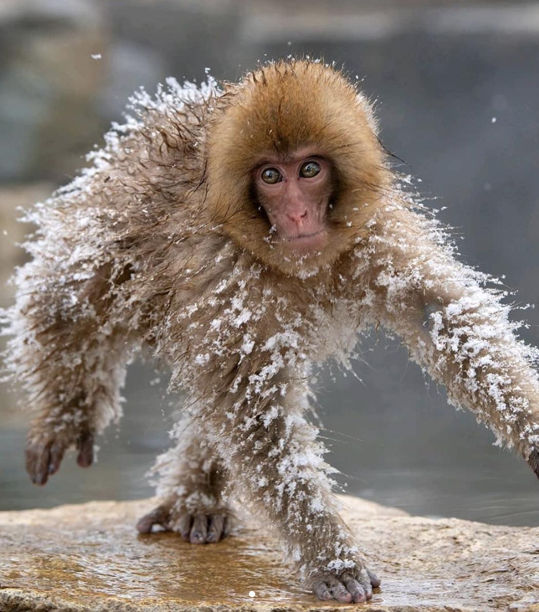 Зима 2020-2021 видалась трохи морознішою, ніж очікували мавпочки