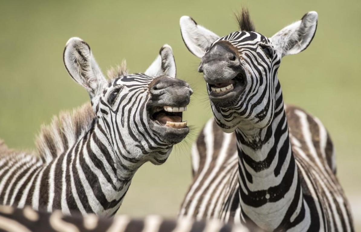 Зебри не змогли стримати сміх під час фотосесії