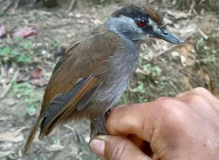 Редкая птица считалась вымершей до 2020 года.