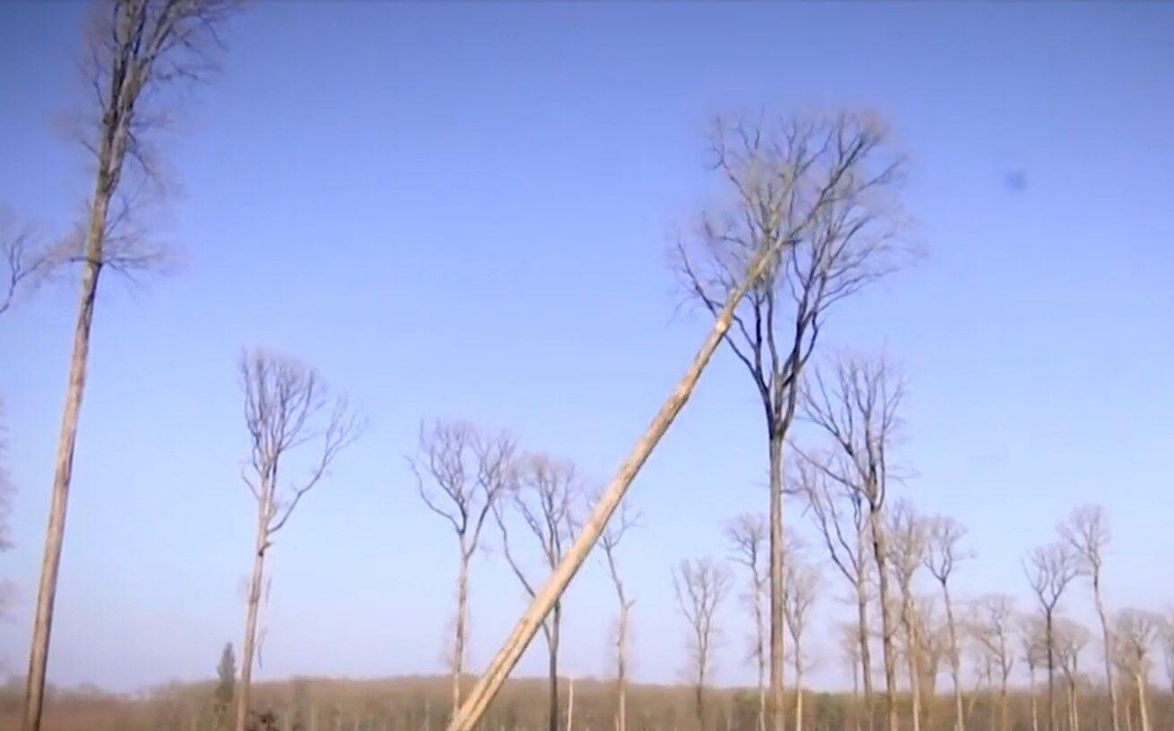 Четыре дуба срезали в бывшем королевском лесу.