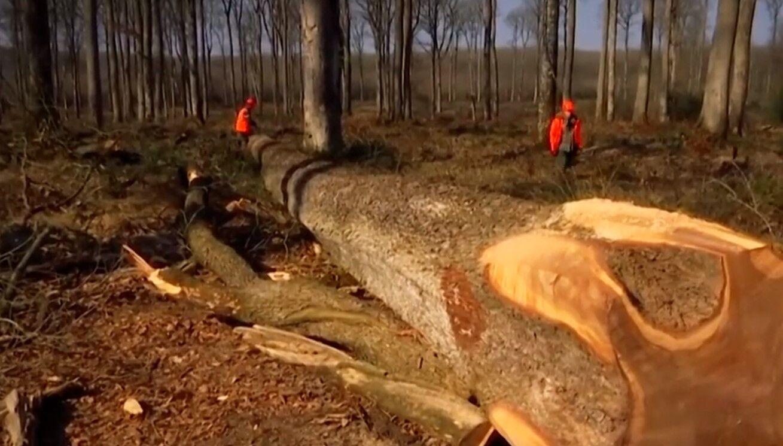 Некоторые деревья достигали 1 метра в ширину.