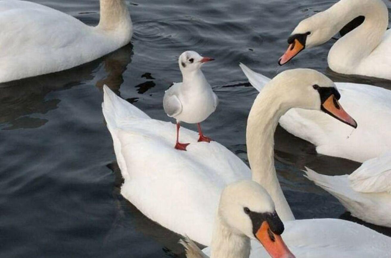 Чайка вирішила покататися на спині лебедя