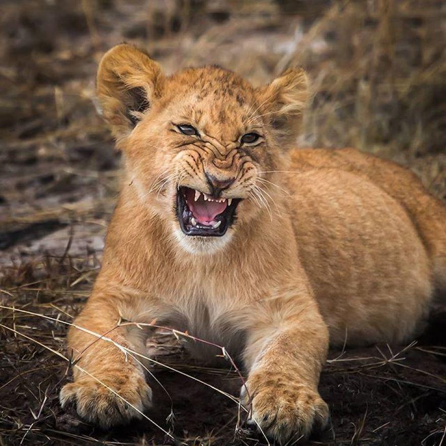 Львенок проявляет свои хищные инстинкты.
