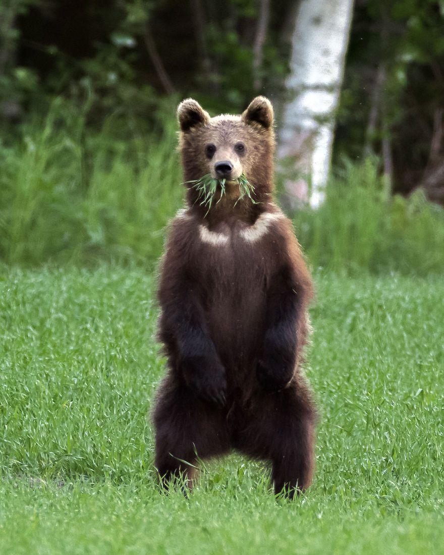 Полдник подростка бурого медведя на лужайке.
