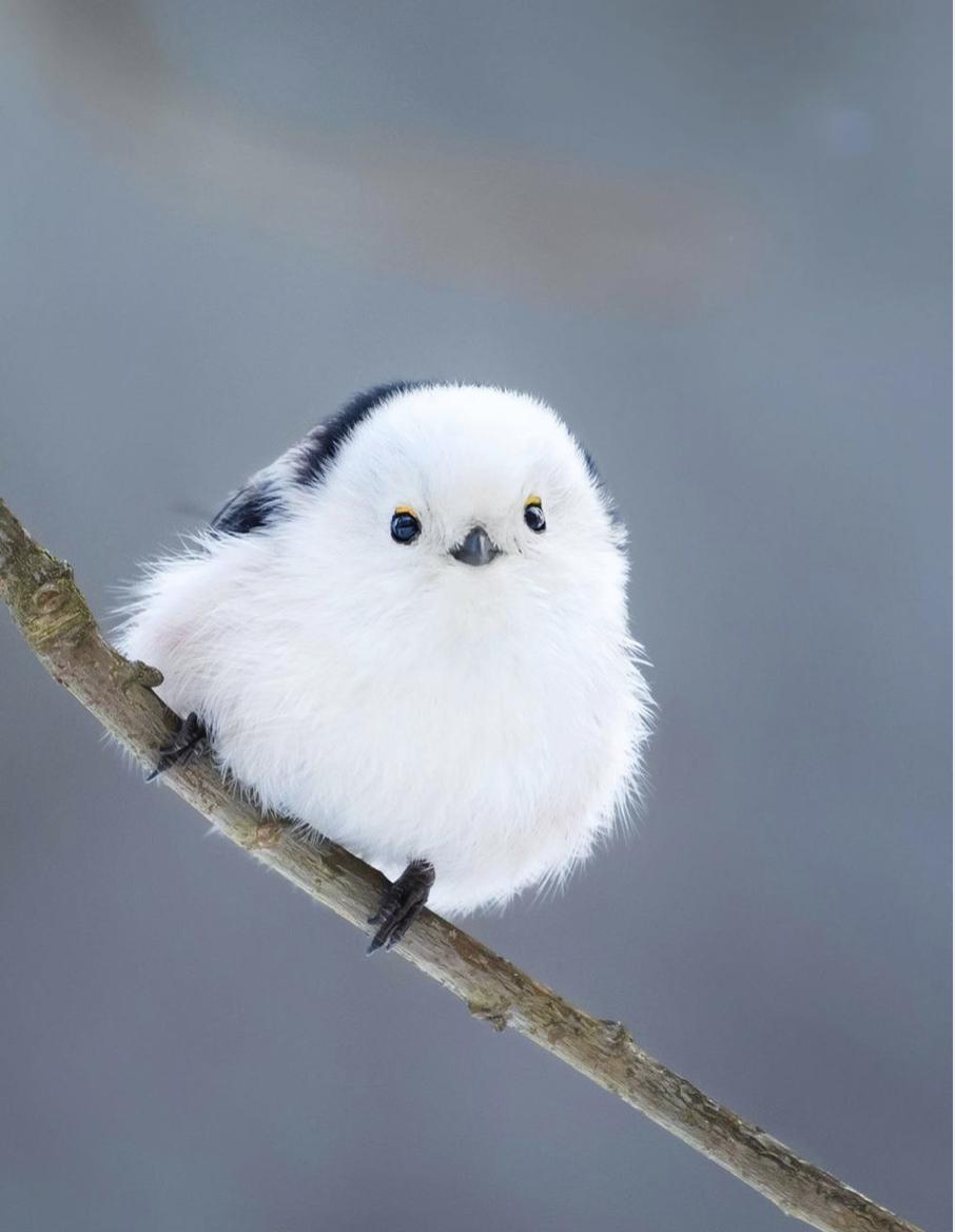 Длиннохвостая синица похожа на снежку.