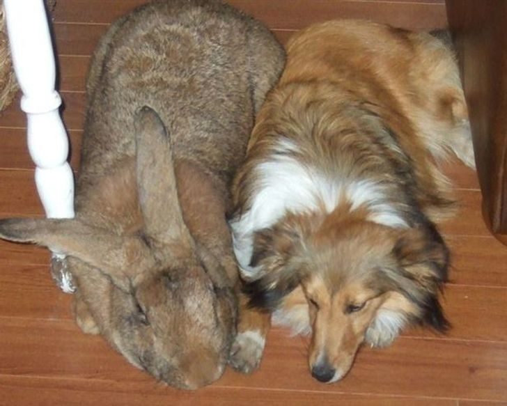 Фламандский кролик длиной 1,3 метра.