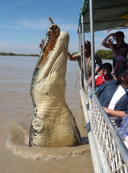 Крокодил длиной 5,5 метра, ему около 80 лет.