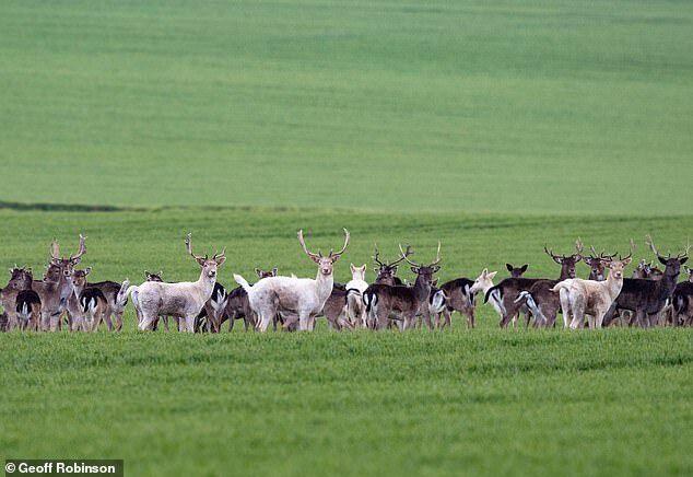 Белые олени пасутся на полях Хартфордшира