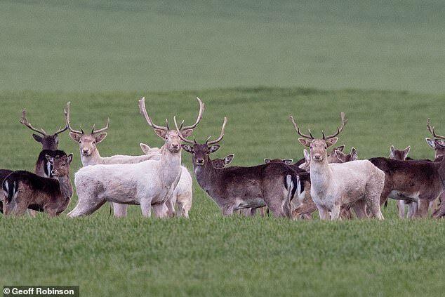 Белые олени попали на камеру