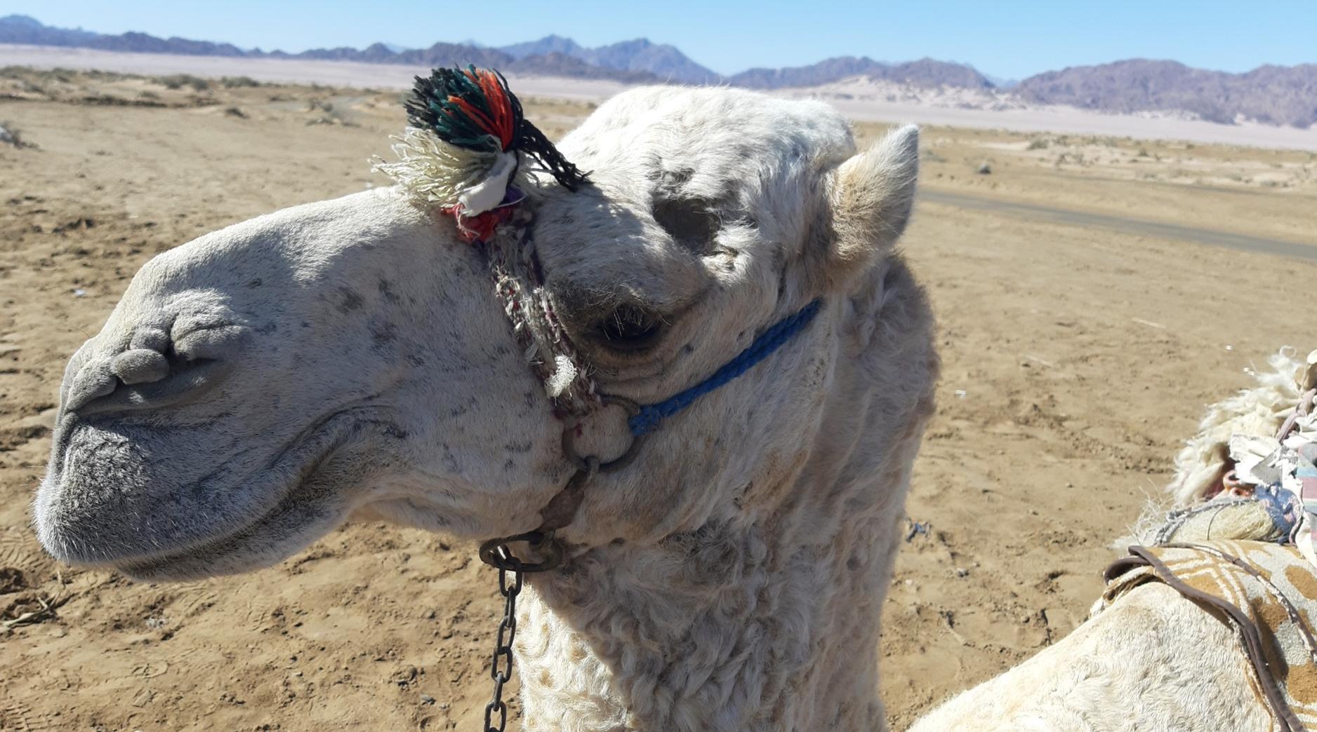 Катание на верблюде не имеет фиксированной цены.