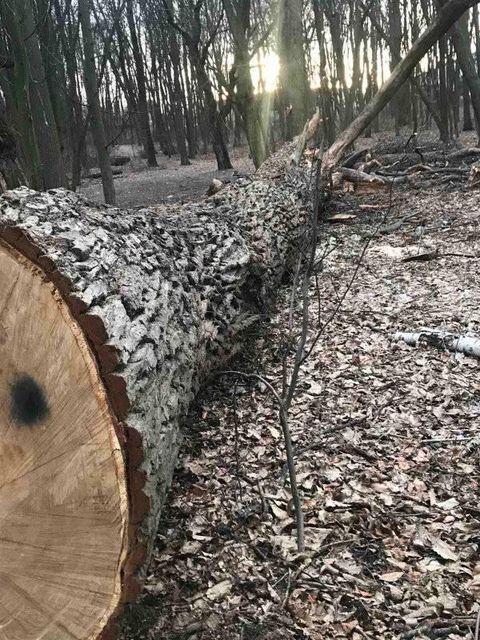 Часть деревьев уже вывезли.