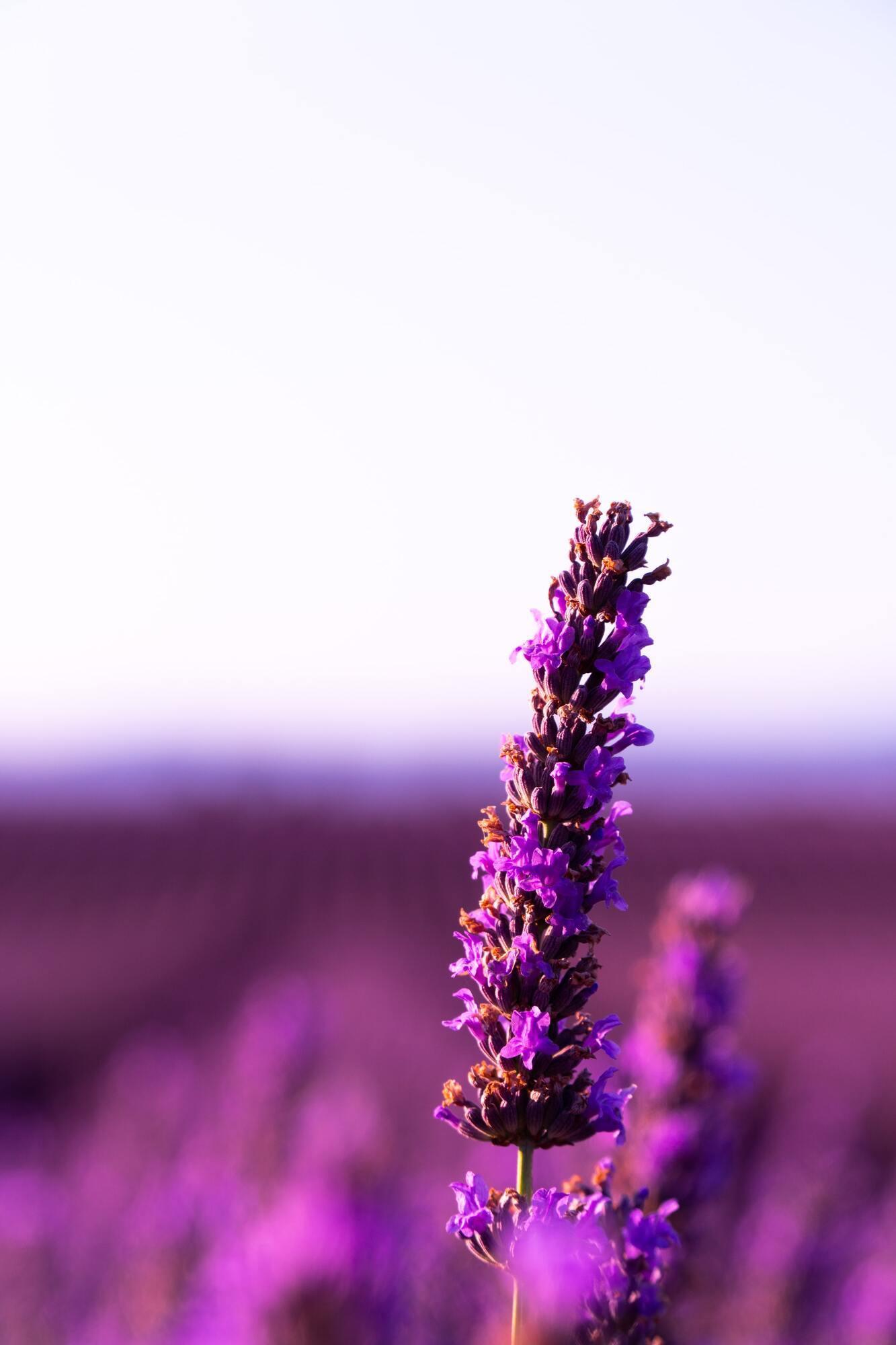 Лавандовый цвет признан международным цветом эпилепсии