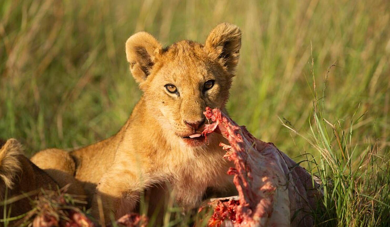 Левеня пообідав м'ясом зебри
