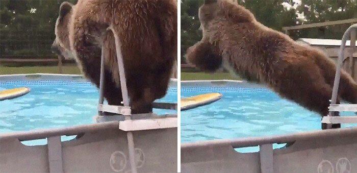 Ведмідь плюхнувся у басейн