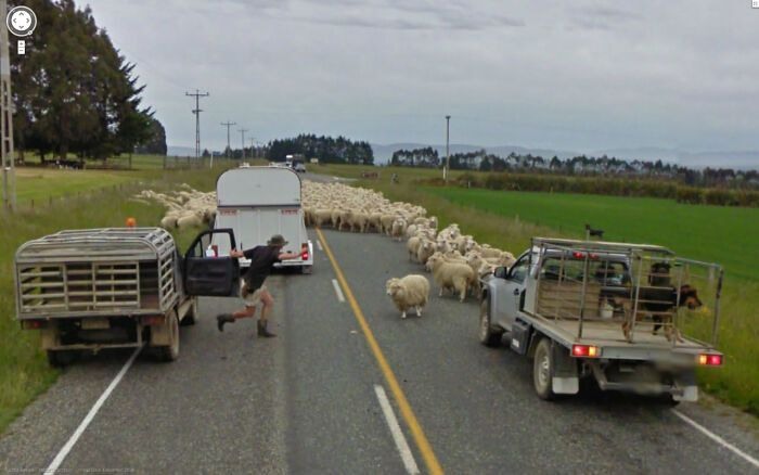 Нашестя вівців на дорозі