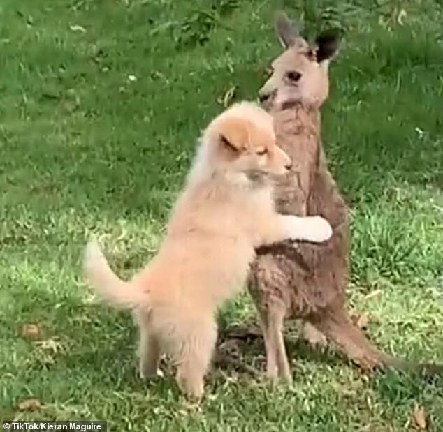 Собака обнимает кенгуру