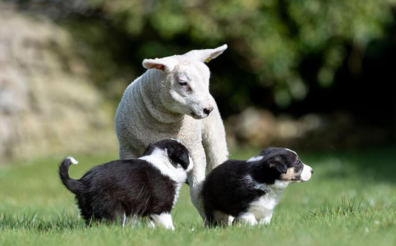 Шерстяные друзья живут на ферме в английской деревне