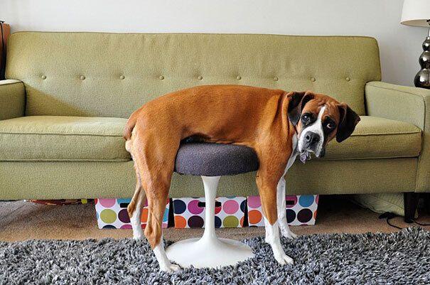 Пес тестирует новый стул