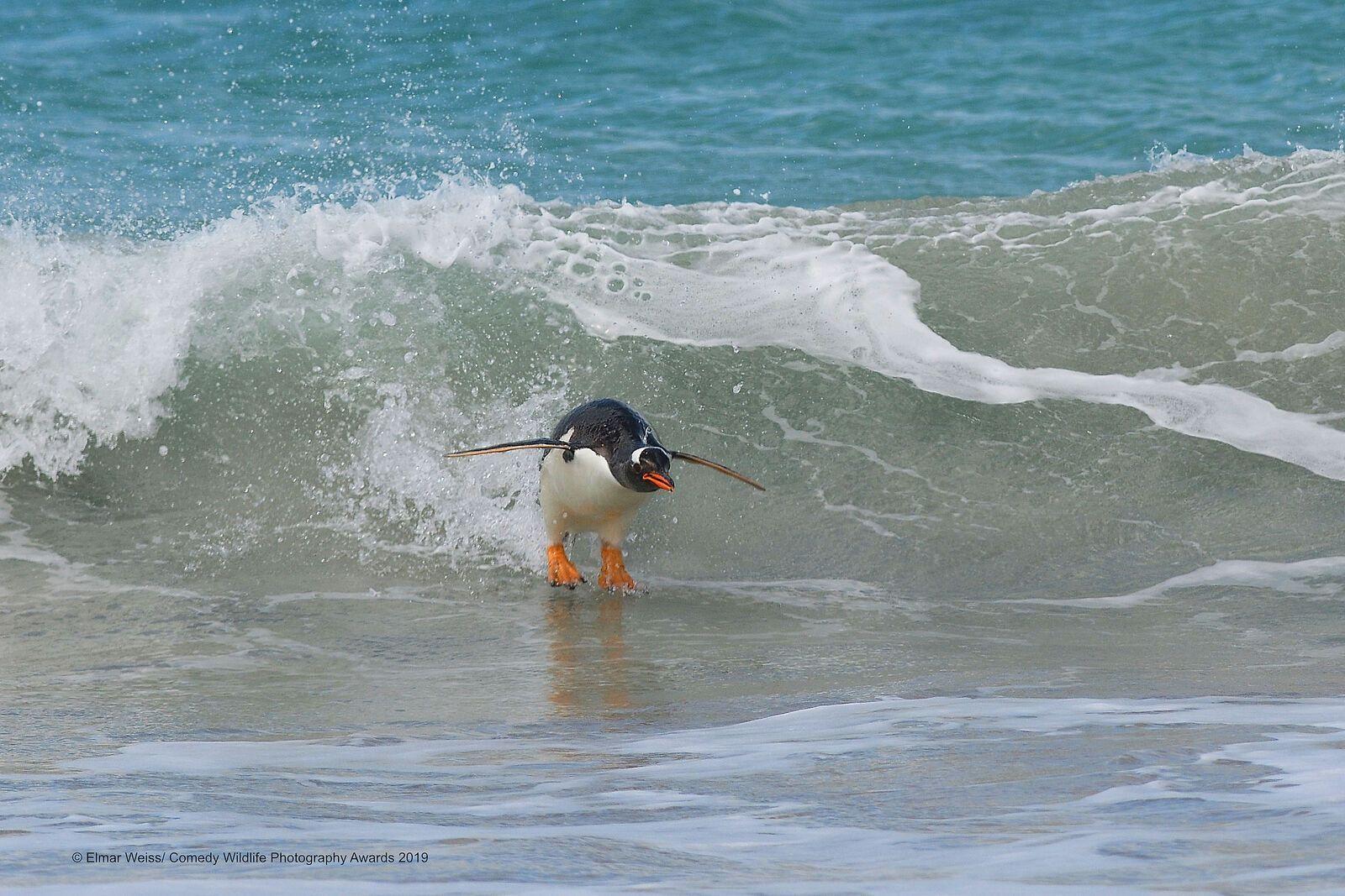 Пингвин занимается серфингом