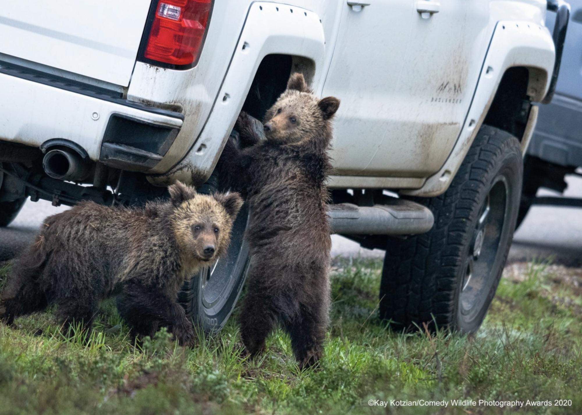 Медвежата пытаются открутить колесо