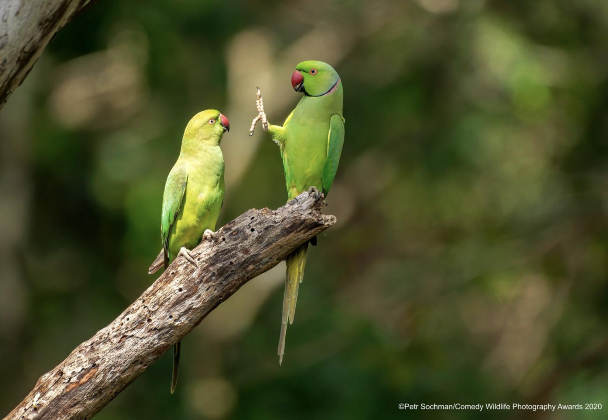 Экзотические попугаи здороваются.