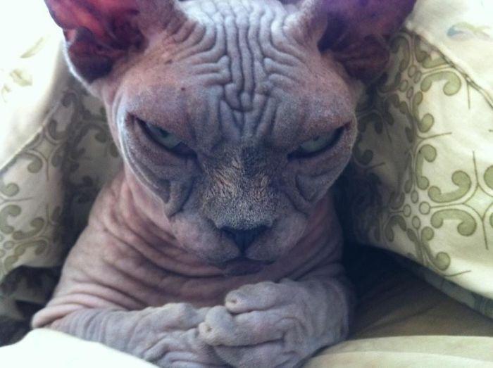 Кішка-сфінкс лякає своїм поглядом.