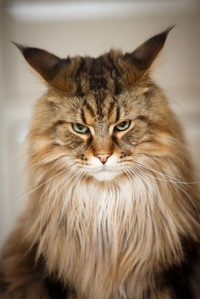 Кіт має невдоволений вигляд