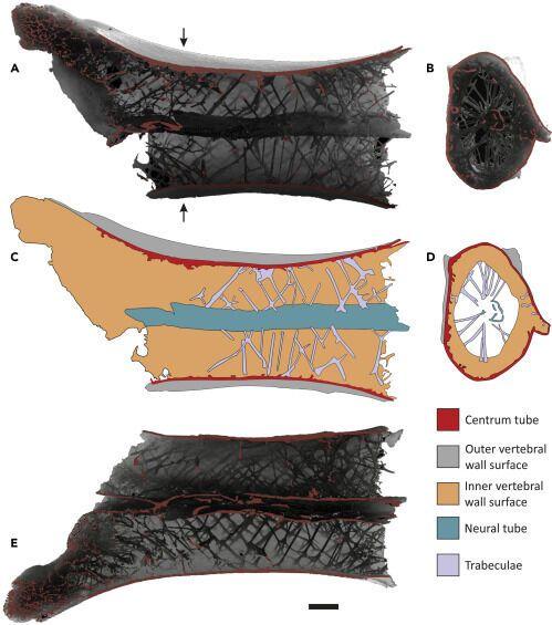 Розкрито секрет міцності скелета літаючих динозаврів