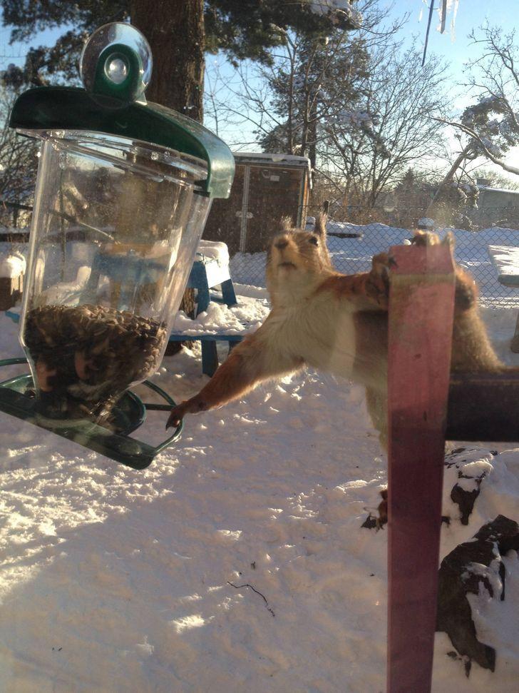 Белка хотела похитить зерна из кормушки для птиц.