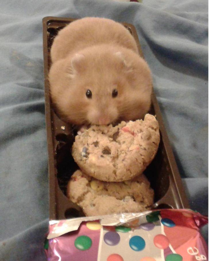 Хомяк съел пол пачки печенья.