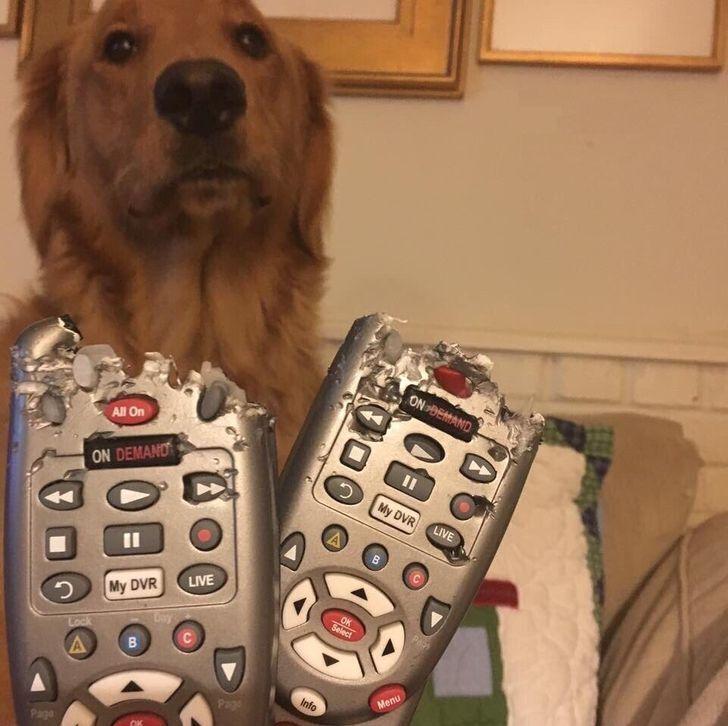 Пес не признает вину.