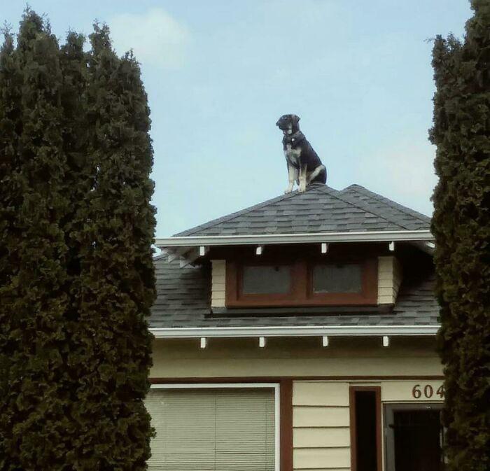 Зранку хазяїн знайшов свого пса на даху