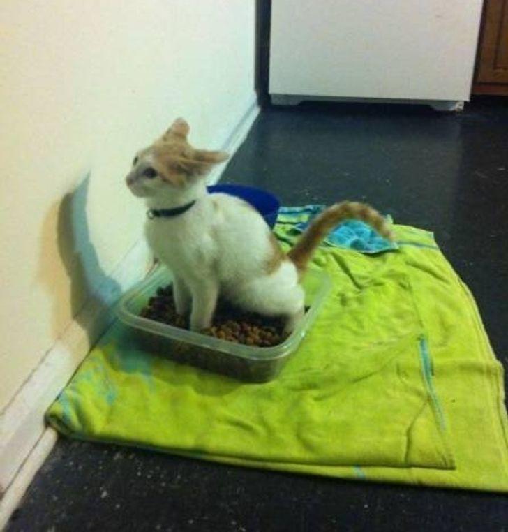Кот ходит в туалет в миску пса.