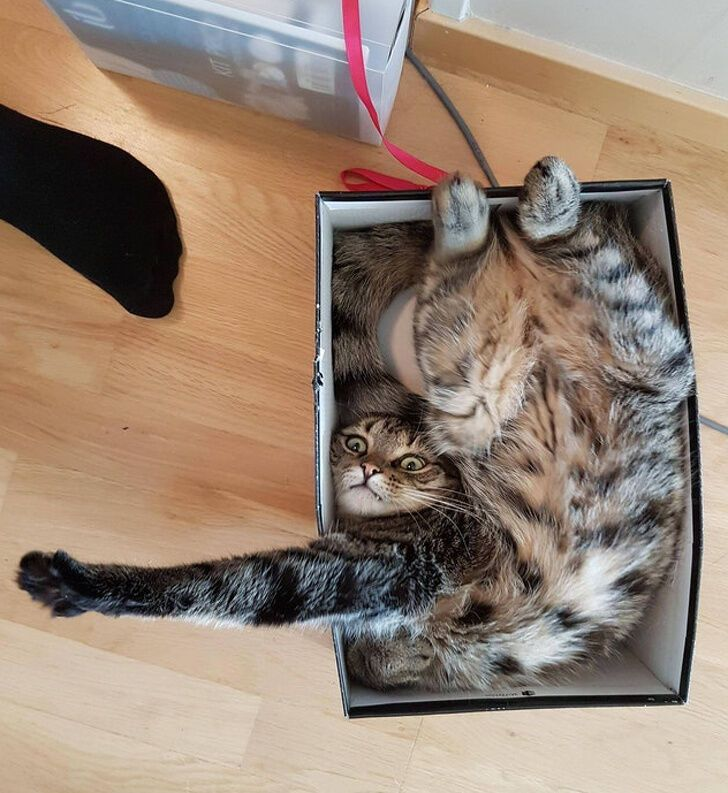 Кот улегся в коробку для обуви.