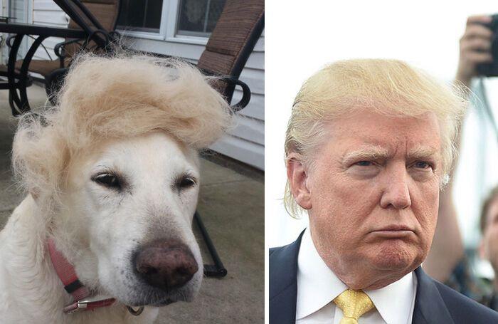 Пес похож на Дональда Трампа.